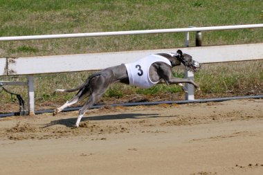 Greyhound at full speed running during a dograce