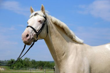 Purebred young cremello stallion posing in the corral