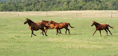 Thoroughbred anglo-arabian horses galloping in pasture enjoying
