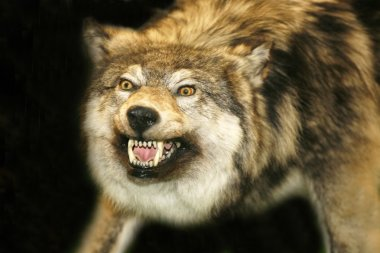 Wild wolf head with open mouth against black background