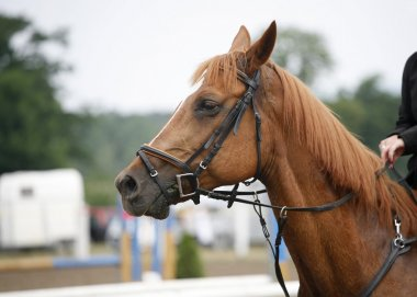Head shot of a beautiful purebred show jumper horse in action
