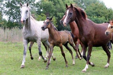Herd of horses running through the meadow summertime