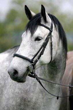 Side view headshot of a fleabitten grey horse with leather harne
