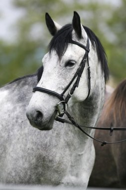 Portrait of a thoroghbred horse