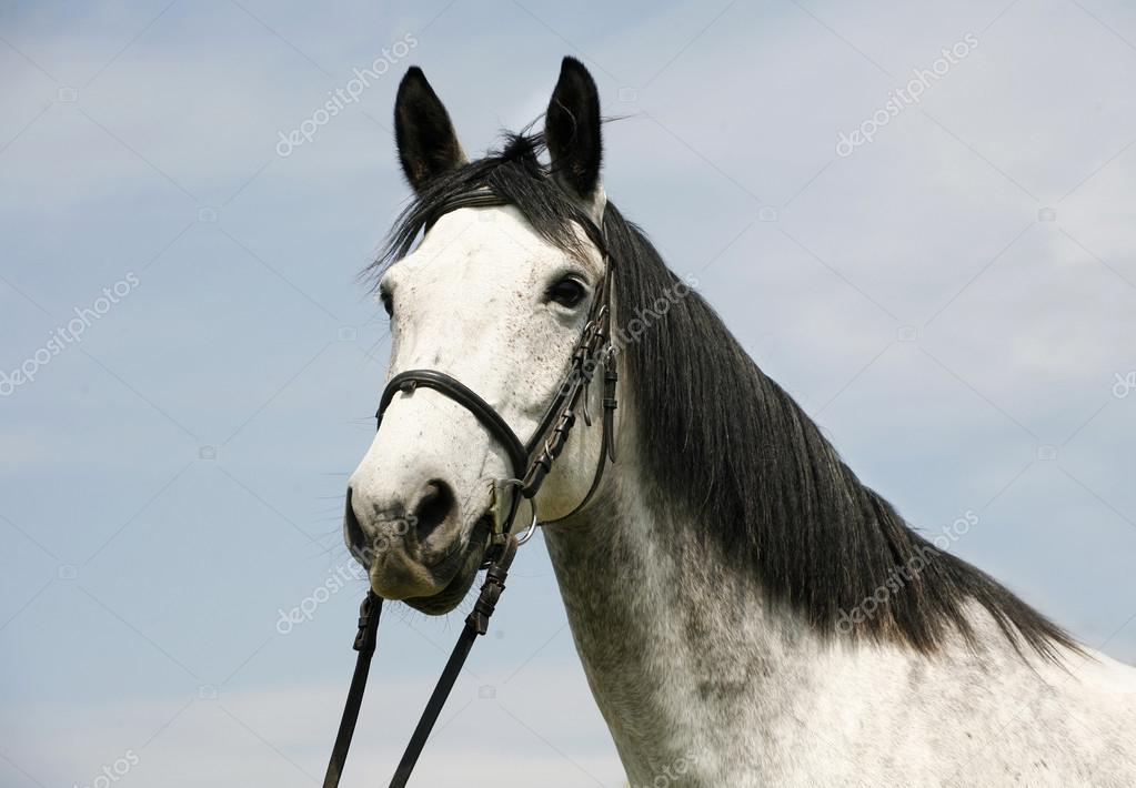 Dapple grey horse head with leather harness in summer corral