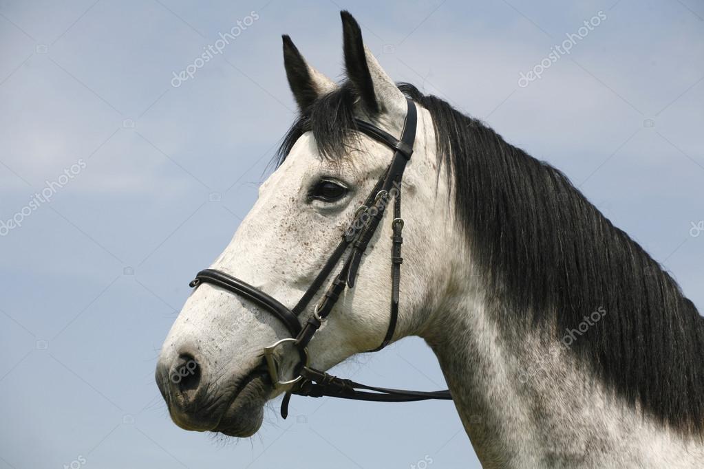 Beautiful fleabitten grey horse with leather harness