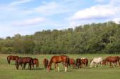 Young mares and foals grazing on the pasture summertime