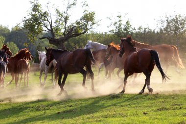 Herd of horses running along in the dust at sunset