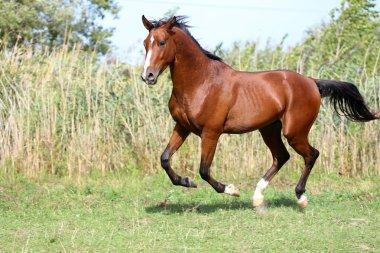 Beautiful arabian breed horse running on the field