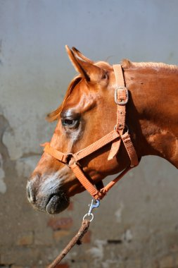 Portrait of beautiful arabian horse against white wall