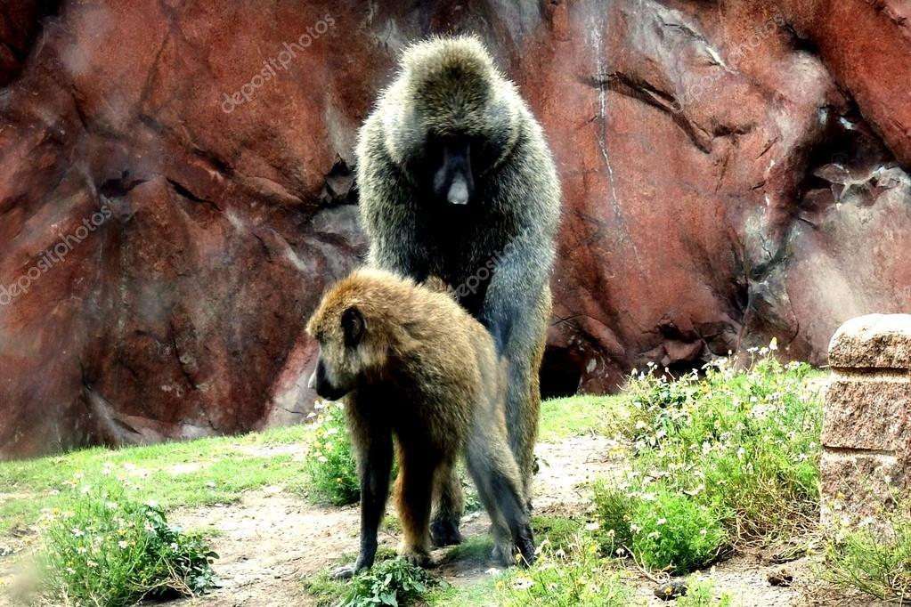 Authoritative message Two monkeys having sex