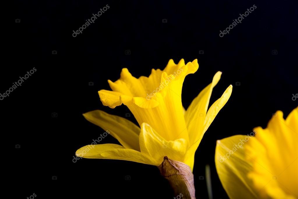 Narcisos Amarillos Sobre Fondo Negro Fotos De Stock C Milosz - Narcisos-amarillos
