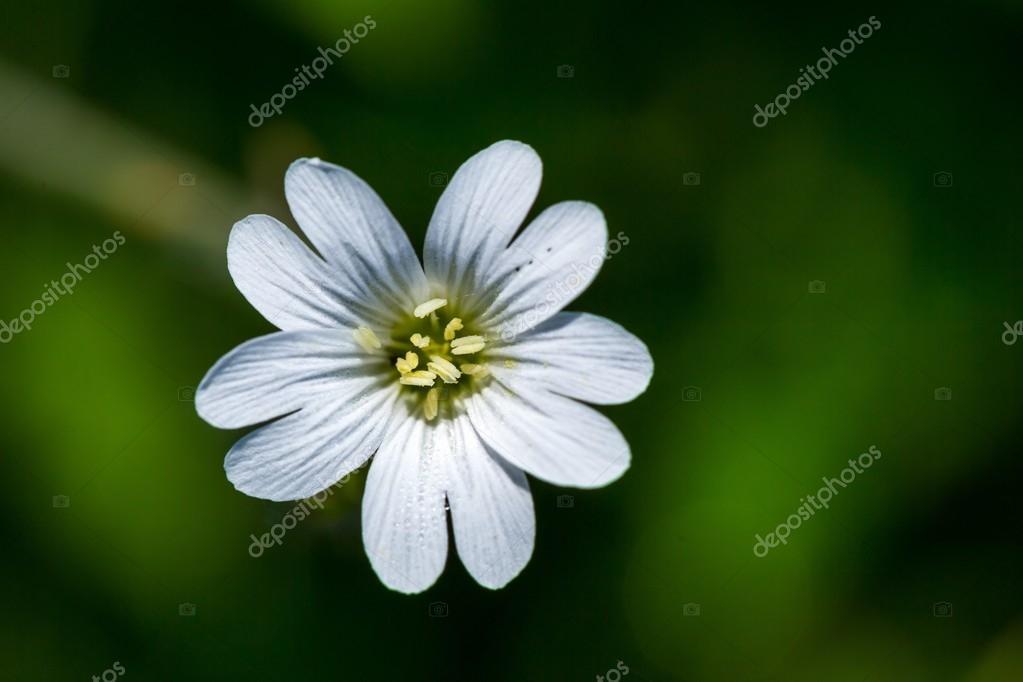 Cerca De Flores Silvestres Blancas Pequenas Fotos De Stock