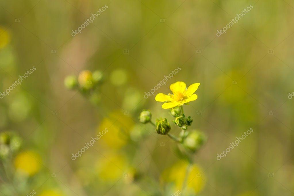 Flores Silvestres Amarillas Pequenas Cerca De Pequenas Flores