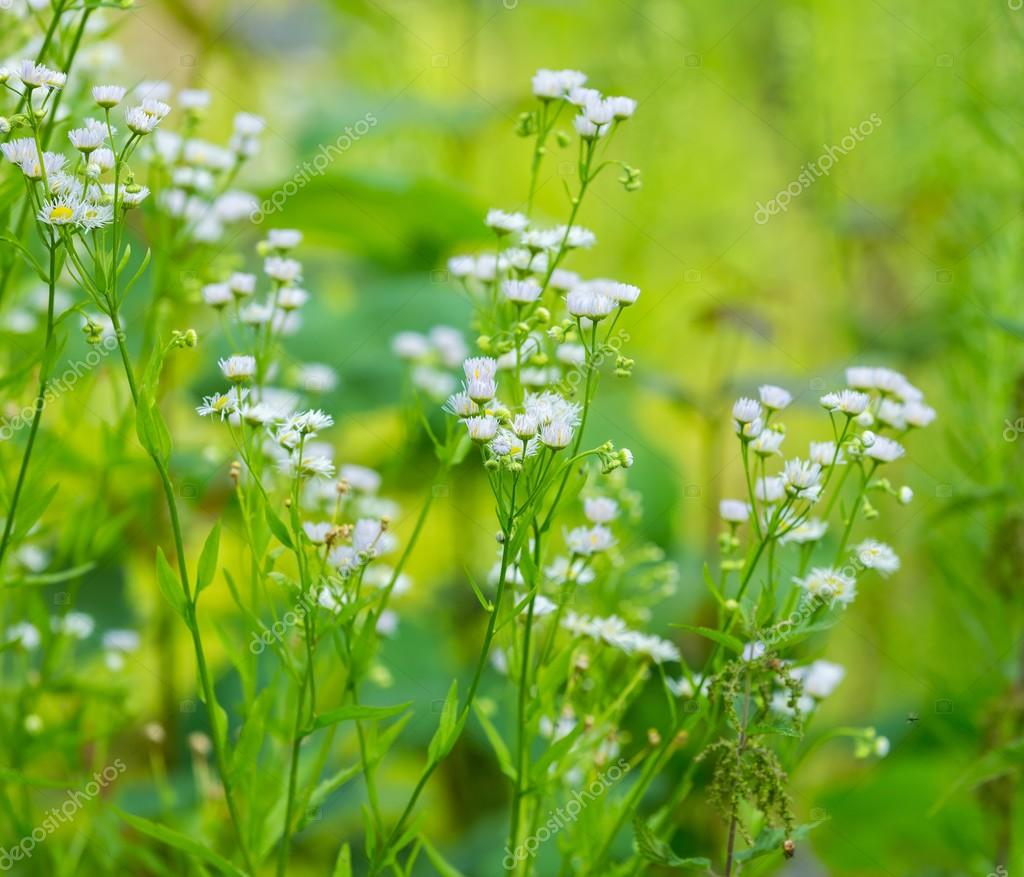 Wild White Flowers Growing In Forest Stock Photo Milosz 115187918