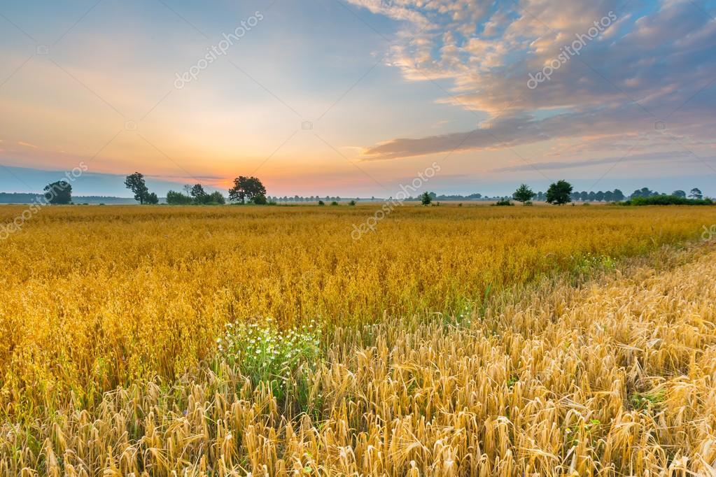 Misty morning landscape with cereal field under beautiful sky.