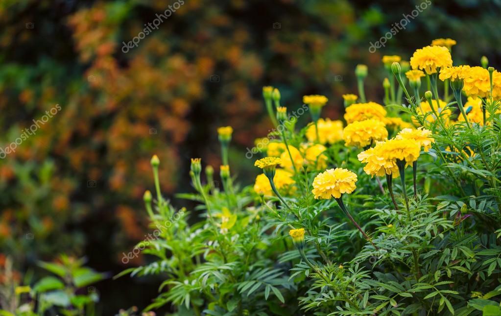 Beautiful garden marigolds blooming — Stock Photo © Milosz_ #119449834
