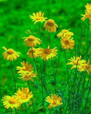 Beautiful roman chamomile flowers