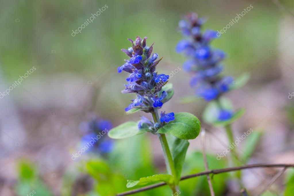 Blooming bugle plants