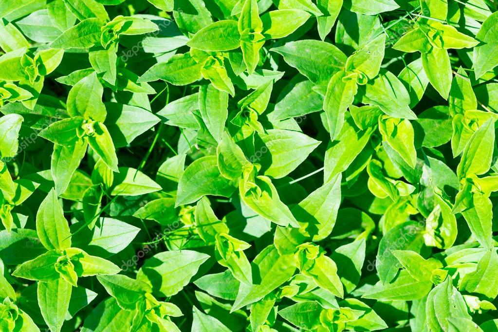 Soapwort green leaves