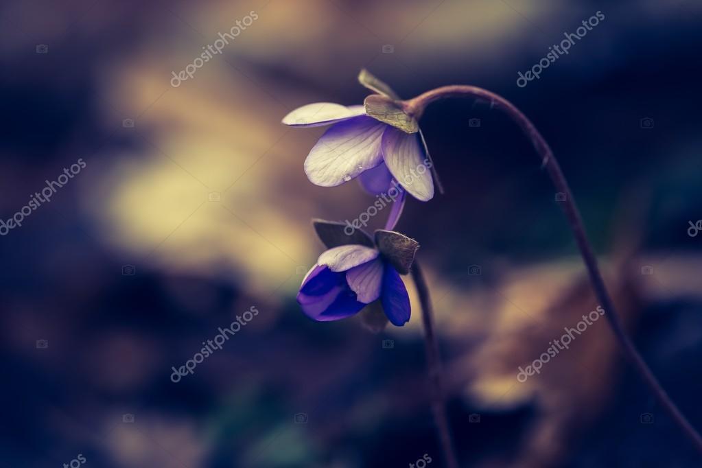 Liverwort flowers blooming