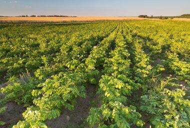 potato field in sunset light