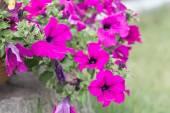 Petunia flowers (Solanaceae)