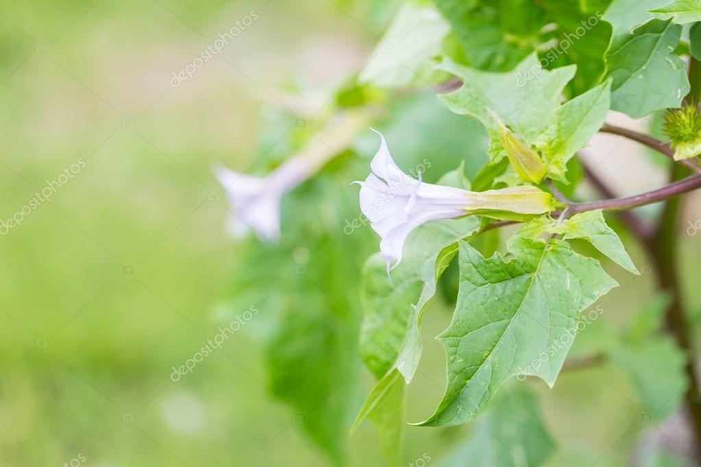 Beautiful brugmansia flowers