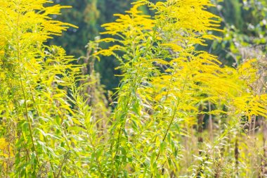 Beautiful yellow goldenrod flowers