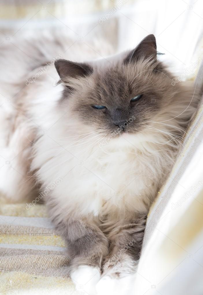 Piękny Portret Kotów Neva Masquerade Zdjęcie Stockowe Milosz