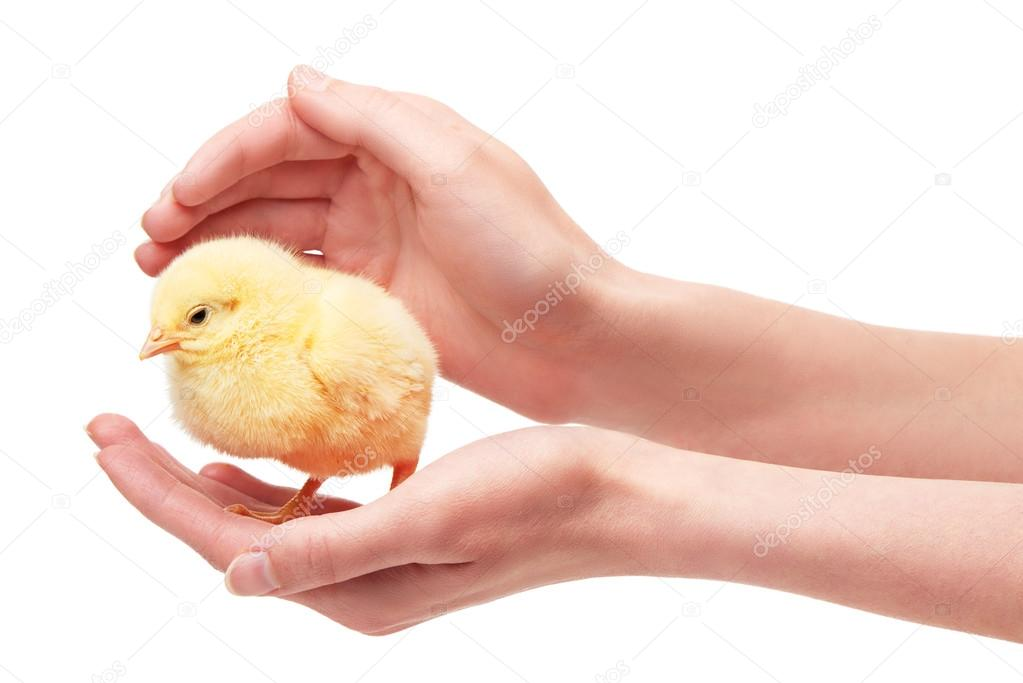 Female hands holding small yellow chicken isolated on white