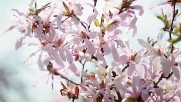 Květy růžové magnólie strom květ