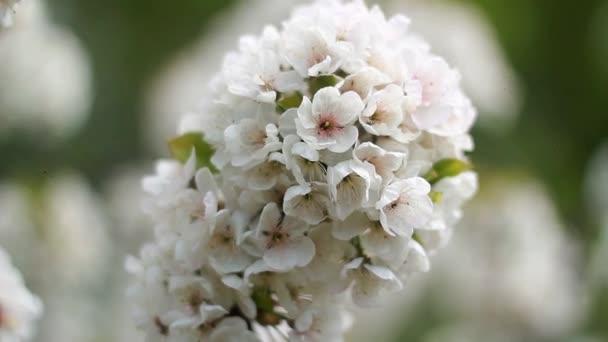 Květy Třešňové květy na jaře den Ukrajina