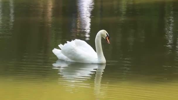hatalmas fehér hattyú tó csodálatos nyári úszás