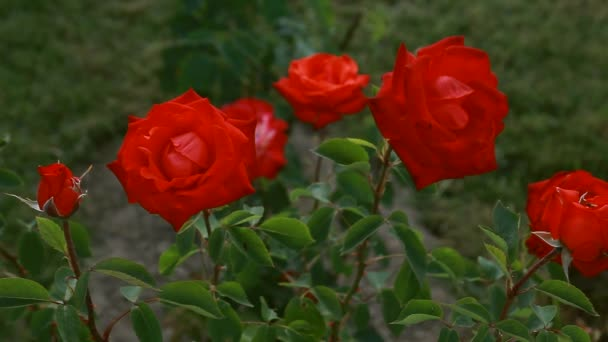 red roses tossed on the wind