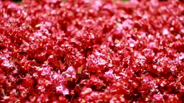 many beautiful red flowers Ukraine