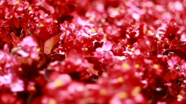 many beautiful red flowers