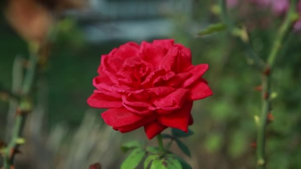 gyönyörű vörös rózsa a zöld bokor