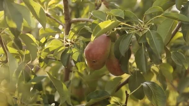 šťavnatá hruška na stromě v slunci
