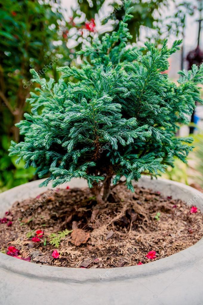 Bonsai o alberi di pino nano in un giardino botanico - Pino nano da giardino ...