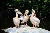 Pelikánů po jídle