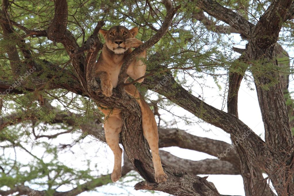 Lion relax on tree, Tanzania