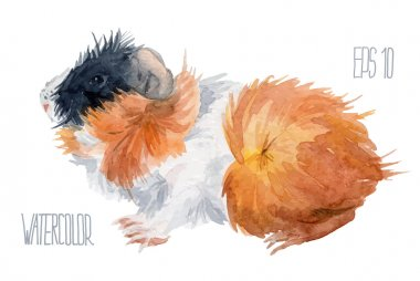 Colorful guinea pig. Vector Watercolor illustration.