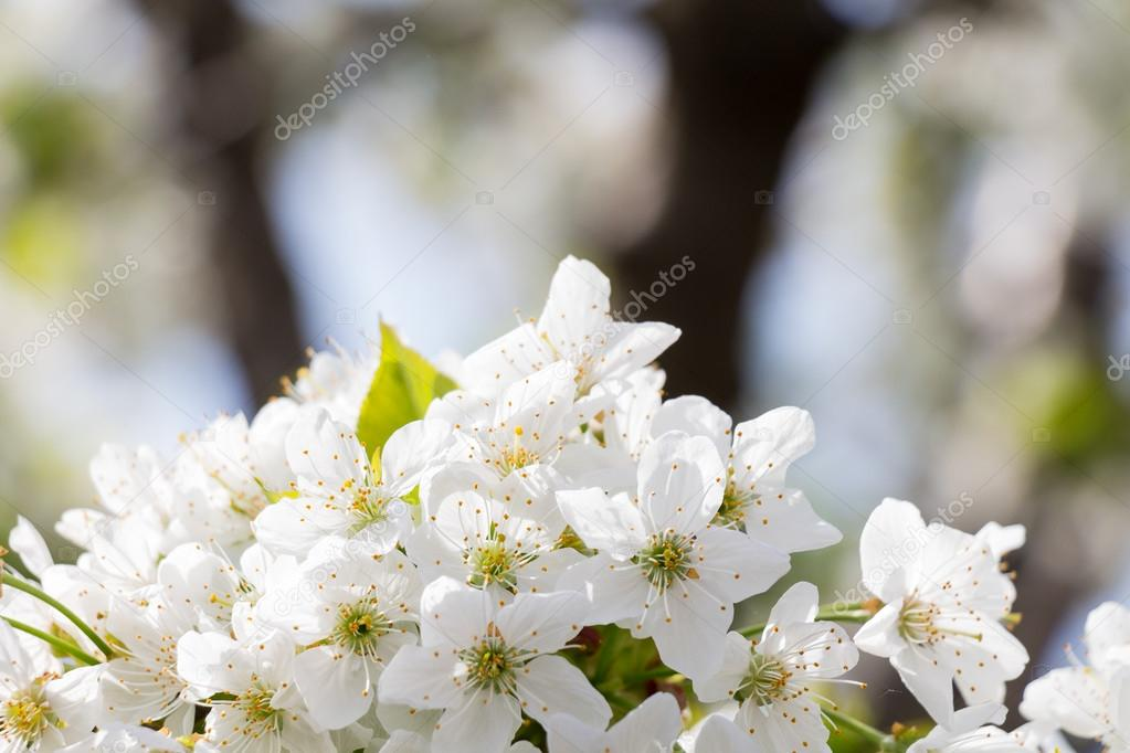 Arbre Fleur Blanche Photographie Sslaider C 106801828