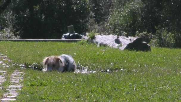 Dog plays on a muddy water pond on a green grass park
