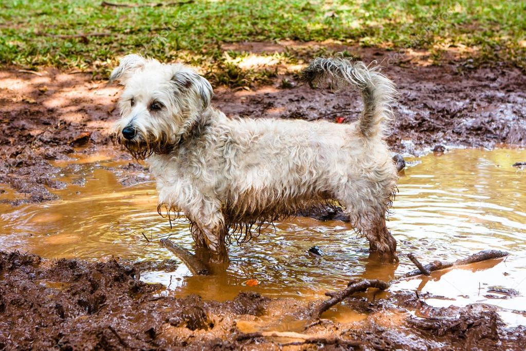 Dirty Dog Stock Photo Willbrasil21 77136377