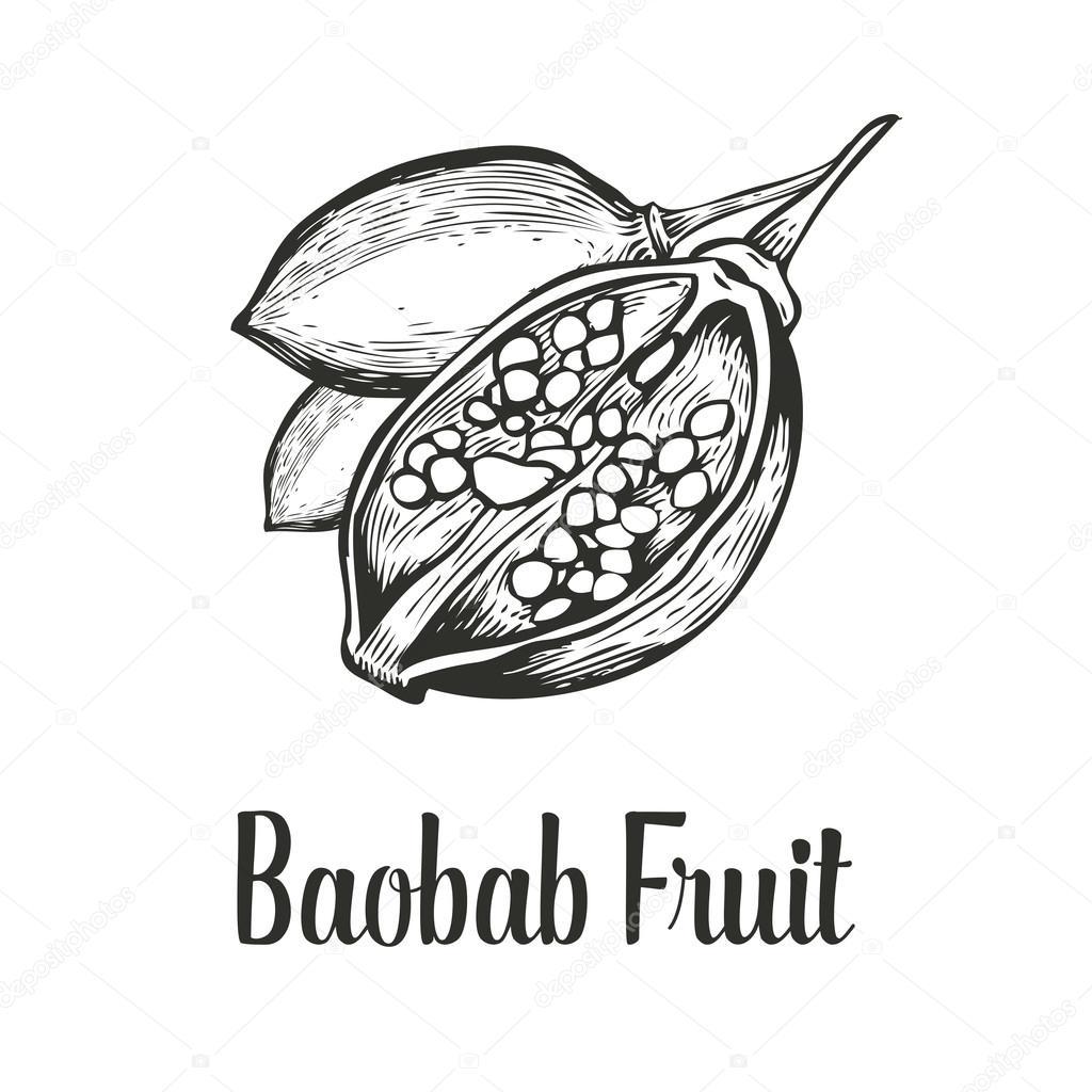 Baobab tree, fruit, nut engraving vintage Hand drawn sketch vector illustration. Black on white background.