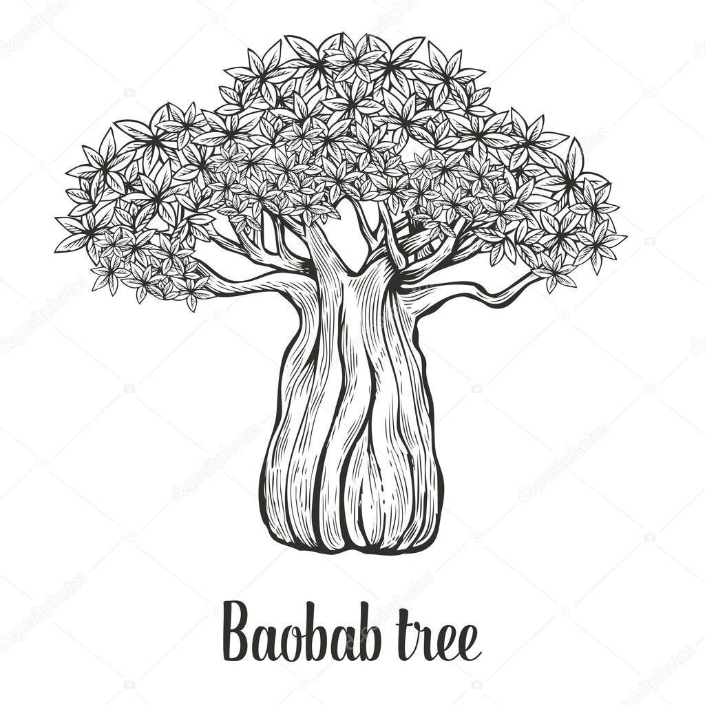 Baobab tree, leaf engraving vintage Hand drawn sketch vector illustration. Black on white background.