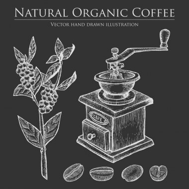 Coffee branch plant with leaf, berry, bean, fruit, seed, mill. Natural organic caffeine drink. Hand drawn vector illustration on chalkboard background.