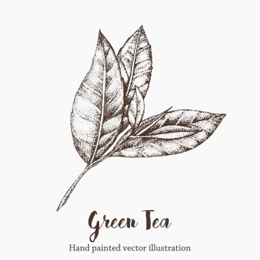 Green tea leaf vector illustration. Floral branch organic hand drawing sketch.